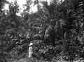 Från en kaffeplantage. Kabupaten Bolaang Mongondow, Sulawesi, Menado. Indonesien - SMVK - 2044D.tif