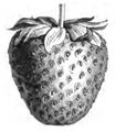 Fraise Premier Vilmorin-Andrieux 1883.png