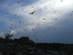 Mexican free-tailed bat - Bats flying near Frio Cave in Concan, Texas