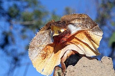 Frill-necked Lizard (Chlamydosaurus kingii) (8691487073).jpg