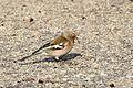 Fringilla coelebs syriaca - Syrian Chaffinch (male), Adana 2016-12-25 01-2.jpg