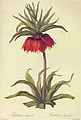 Fritillaria imperialis in Les liliacees.jpg