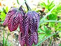 Fritillaria meleagris 5.jpg