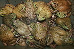 Frogs for sale.JPG
