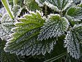 Frost on nettle leaves.jpg