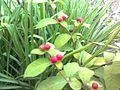 Fruits of Patal Garuda Tree.jpg