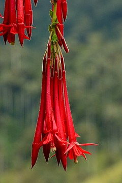 240px fuchsia boliviana (14722291836)