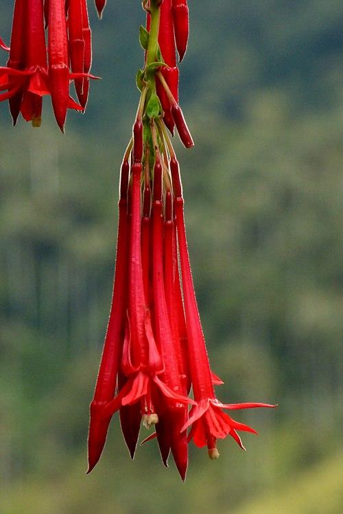 500px fuchsia boliviana (14722291836)