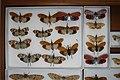 Fulgoridae - 5036137585.jpg