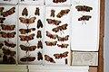 Fulgoridae Drawers - 5036089099.jpg