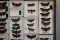 Fulgoridae Drawers - 5036703392.jpg