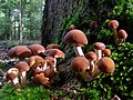 Fungi in Denny Wood Inclosure, New Forest - geograph.org.uk - 256746.jpg