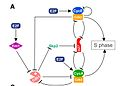 G1-S cell cycle regulation.jpg
