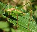 GT Speckled Bush Cricket detail.jpg