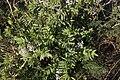 Galéga officinal-Galega officinalis-20140921.jpg