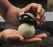 A tour guide holds up a tortoise egg and a small tortoise. The egg comfortably rests in the palm of a hand. It is spherical and the size of a billiard ball. It has a smooth, white surface with a light layer of soil on it. The tortoise is held by the other hand, above the egg. The width of the tortoise is only marginally wider than the egg.
