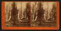 Galen's Hospice, Mariposa Grove, Mariposa County, Cal, by Watkins, Carleton E., 1829-1916 5.png