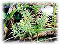 Galium californicum sierrae.jpg