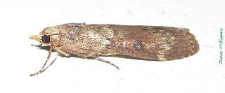<i>Lamoria</i> genus of insects