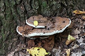 Ganoderma applanatum 2011 G2.jpg