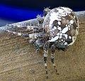 Garden Spider (6115733787).jpg