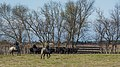 Gardian and Camargue cattles, Saint-Gilles 11.jpg