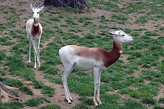 Dama gazelle - Addra gazelle (N.d.ruficollis) at Maryland Zoo