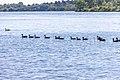 Geese (44200693241).jpg