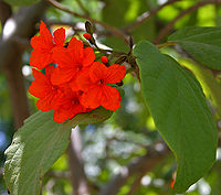 Geiger Tree (Cordia sebestena) flowers & leaves in Hyderabad, AP W 260