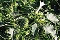 Gemeiner Stechapfel Datura stramonium 4864.jpg