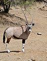 Gemsbok (Oryx gazella) (32618847045).jpg
