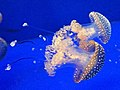 Genoa Aquarium - two medusas.jpg
