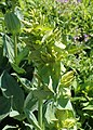 Gentiana lutea kz01.jpg