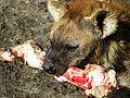 Gevlekte hyena (4422348627) (3).jpg