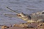 Gharial (Gavialis gangeticus) female head.jpg