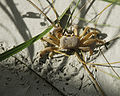 Ghost Crab in the Dunes - Flickr - Andrea Westmoreland.jpg