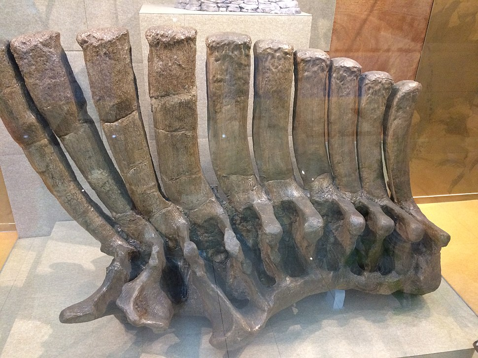 Giant Shandong Dinosaur fossil, at the Geological Museum of China