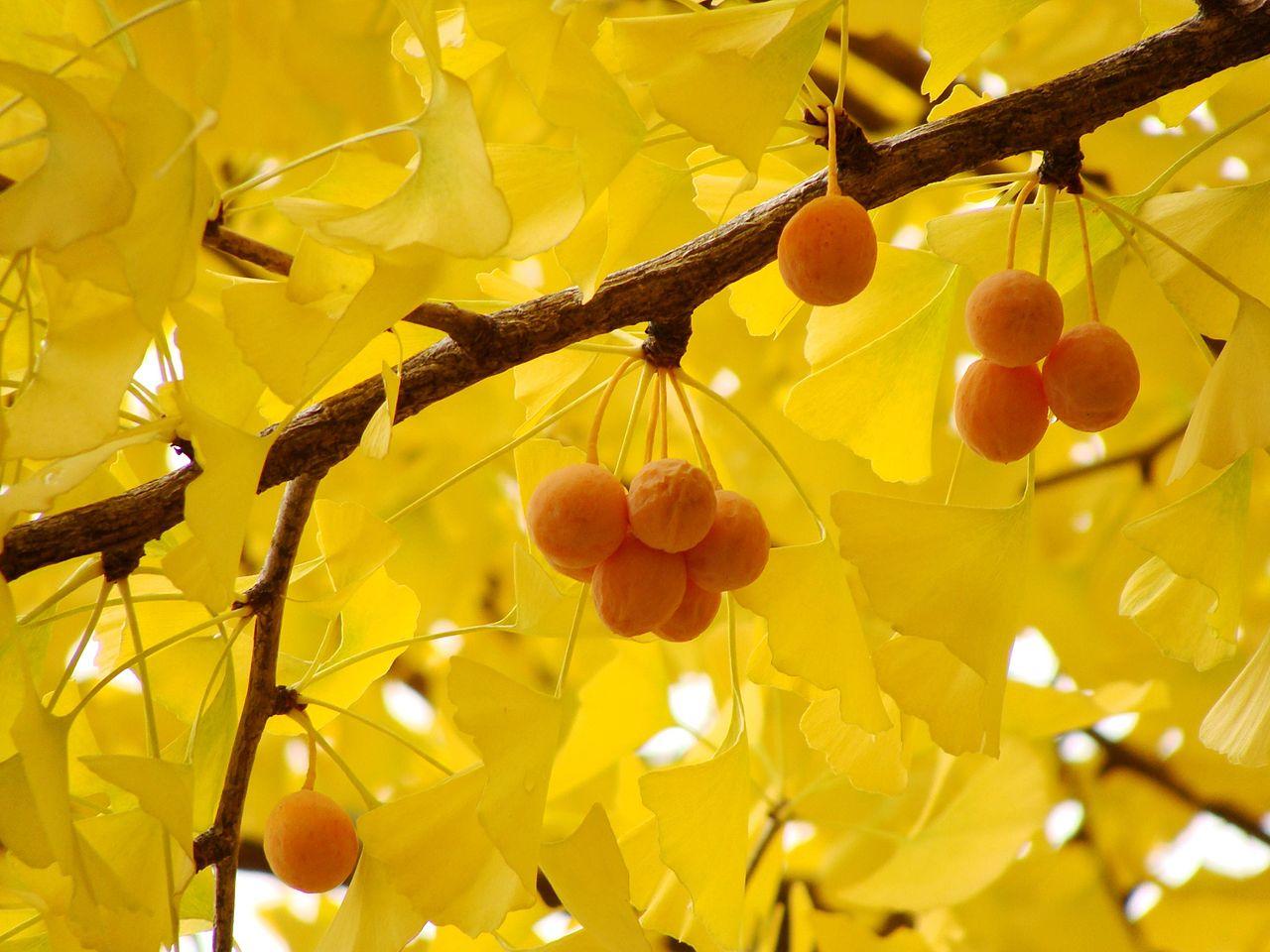 Frutos maduros del Ginkgo biloba, in situ. /Imagen: Wikipedia.
