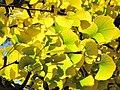 Ginkgo leaves (Vaires) 3.jpg