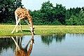 Girafe de Rostchild.jpg