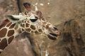Giraffa camelopardalis at the Philadelphia Zoo 008.jpg