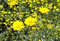 Glebionis coronaria - Crown Daisy 03.jpg