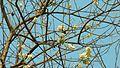 Gliricidia sepium (356944696).jpg