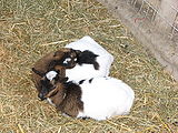 Goats-capra-young-0a.jpg