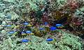 Goldbelly Damsels (Pomacentrus auriventris) (8494697553).jpg