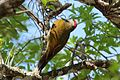 Golden-olive Woodpecker (3330641299).jpg