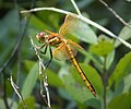 Golden-winged Skimmer female Libellula auripennis (25538881188).jpg