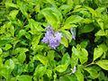Golden Duranta Bush with flowers.jpg