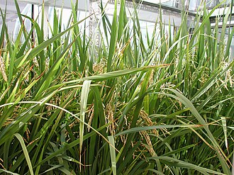 Genetically modified rice - Golden Rice plants being grown in greenhouse