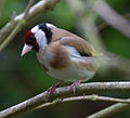 Goldfinch 2 (5767670628).jpg